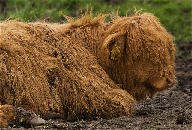Glasgow_Highland Cattle_Credit dun_deagh:Flickr_www.flickr.com:photos:dun_deagh:6841016734